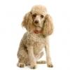 morbi1213 - éleveur canin Dogzer