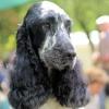 zozo35 - éleveur canin Dogzer