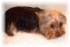 Orlane5472 - éleveur canin Dogzer