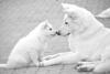 annellelola - éleveur canin Dogzer