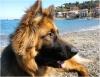 ayam - éleveur canin Dogzer