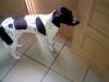 yoshi3d - éleveur canin Dogzer