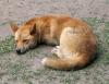 loup43 - éleveur canin Dogzer