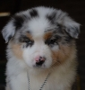 mamzelle-ju - éleveur canin Dogzer