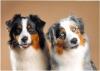 coton27 - éleveur canin Dogzer