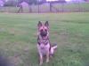 wolf63 - éleveur canin Dogzer