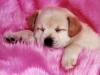 Saphira8 - éleveur canin Dogzer