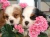 Rubis72 - éleveur canin Dogzer