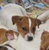 pimous44 - éleveur canin Dogzer