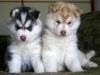 viclaclo - éleveur canin Dogzer