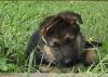 DIABOLIS - éleveur canin Dogzer