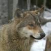 loup06 - éleveur canin Dogzer
