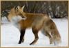 Renard_roux - éleveur canin Dogzer