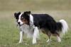 Fan-de-Border-Collie - éleveur canin Dogzer