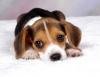 papaille - éleveur canin Dogzer