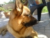 alf22 - éleveur canin Dogzer