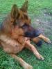lescorvees - éleveur canin Dogzer