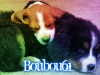 boubou61 - éleveur canin Dogzer