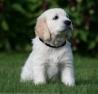 chien200011 - éleveur canin Dogzer