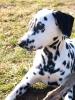 fanfan7 - éleveur canin Dogzer