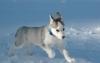 bellegosse4 - éleveur canin Dogzer