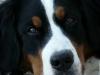 Mlle.Kashmir - éleveur canin Dogzer