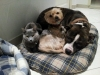 ganou68 - éleveur canin Dogzer