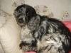 bisu - éleveur canin Dogzer