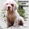 millibull - éleveur canin Dogzer