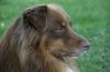 leacan - éleveur canin Dogzer