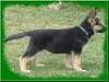 yolie - éleveur canin Dogzer