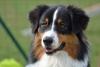 matouaustralia - éleveur canin Dogzer