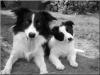 hada023 - éleveur canin Dogzer