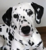 PeintureDeChien - éleveur canin Dogzer