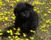 segolene38500 - éleveur canin Dogzer