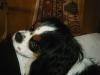 emycai - éleveur canin Dogzer