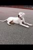 dogo-argentino - éleveur canin Dogzer