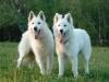 darzane - éleveur canin Dogzer