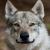 Czechoslovakian Wolf Dog