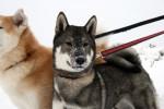 Ricardo et Maya - Shikoku-ken Mâle (1 an)
