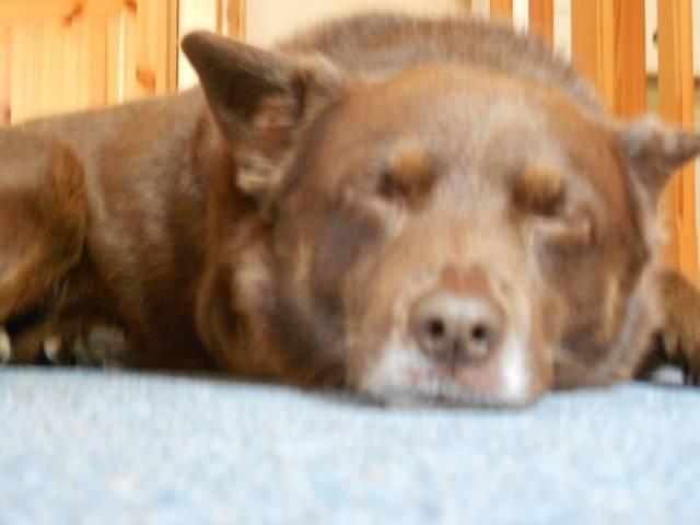 Bobby - Schipperke Mâle (5 ans)