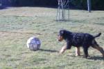 Chien airedale terrier lof de 2 mois - Airedale Terrier  (2 mois)