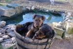 Chien airedale terrier 2mois et demi - Airedale Terrier  (Vient de naître)