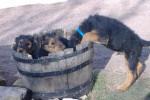 Chien airedale terrier - Airedale Terrier  (Vient de naître)