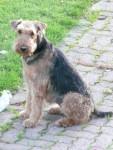 Chien airedale terrier  vicky - Airedale Terrier  (Vient de naître)