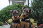Chien Airedale Terrier Giroflée et Géraldine - Airedale Terrier  (Vient de naître)