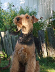 Chien Airedale Terrier Giroflée - Airedale Terrier  (Vient de naître)