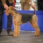 Chien Airedale Terrier Norbert - Airedale Terrier  (Vient de naître)
