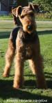 Chien Airedale Terrier Géraldine - Airedale Terrier  (Vient de naître)