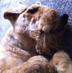 Chien Scooby se repose - Airedale Terrier  (Vient de naître)